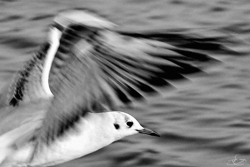 מהירות תריס 1/200 שאפשרה מריחה של הכנפיים בלבד. צילום: תומר אלמקייס